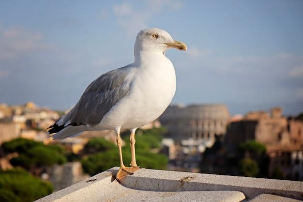Un goéland commun ou un goéland mew debout sur un toit, colisée de rome Photo Premium