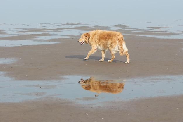 Golden Retriever Marchant Seul Avec Son Reflet Dans Une Flaque D'eau Photo gratuit