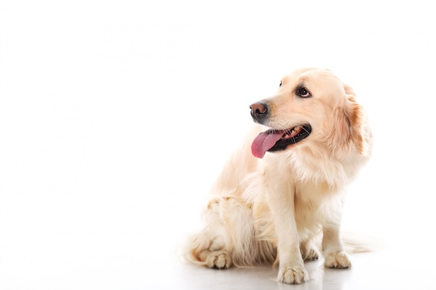 Golden Retriever Mignon Photo gratuit