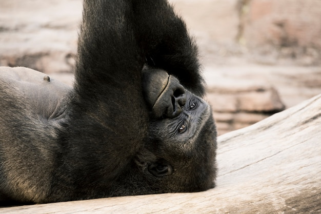 Gorille Photo gratuit