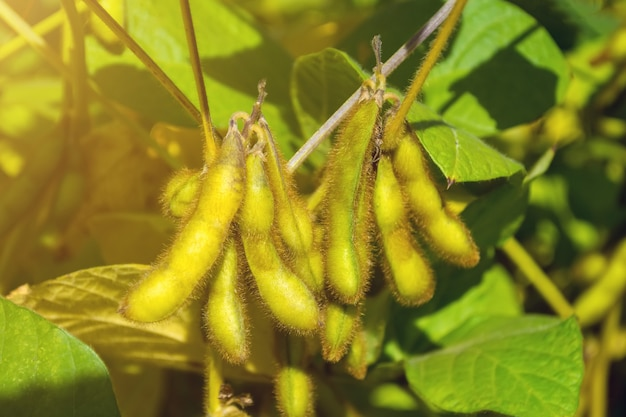 Gousses de soja vertes pleines de haricots en phase de récolte Photo Premium