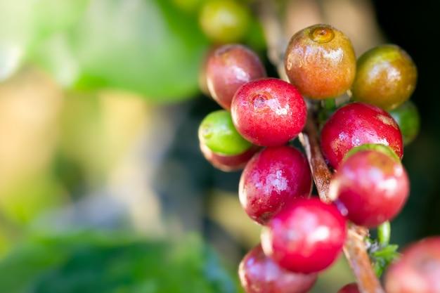 Gouttelettes de café et d'eau grain rouge agrandi sur l'arbre dans la ferme biologique avec la lumière du soleil du matin. Photo Premium