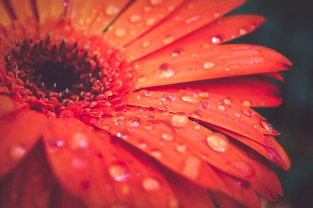 Gouttelettes de texture de fond abstrait macro sur des pétales de fleurs Photo Premium