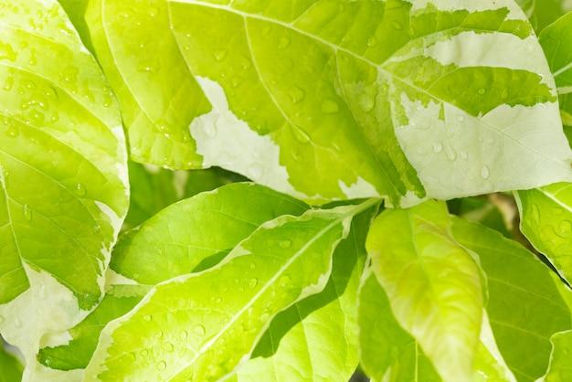 Gouttes d'eau et belle feuille verte au fond clair du matin Photo Premium