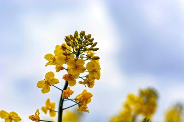 La graine de colza fleurit sur un ciel bleu avec des nuages blancs. Photo Premium