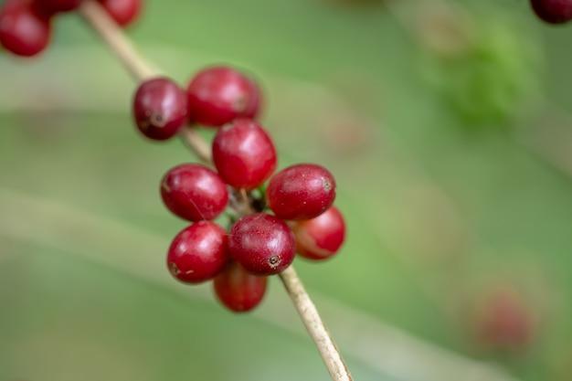 Grains de café arabica frais mûrissant sur un arbre au nord de la thaïlande Photo Premium