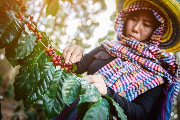 Grains de café sur l'arbre dans la ferme Photo Premium