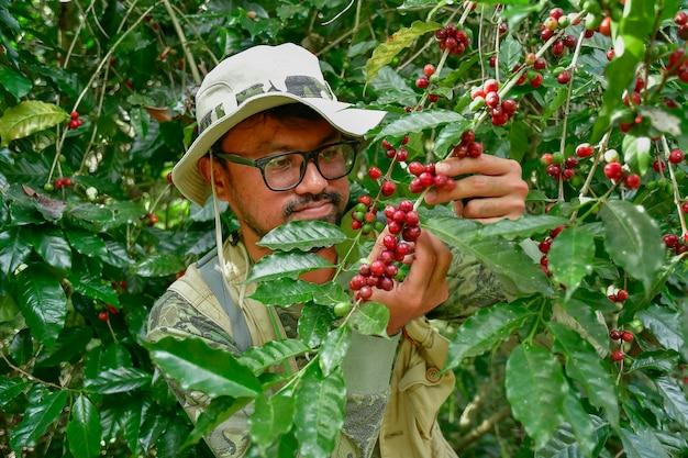 Grains de café sur l'arbre Photo Premium