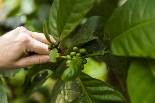 Grains de café sur une branche de caféier avec des feuilles Photo Premium