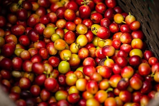 Grains de café crus dans l'agriculteur Photo Premium