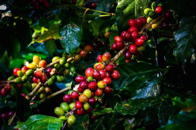 Grains de café crus et feuilles pendant la saison des pluies dans la région agricole de chiang rai en thaïlande Photo Premium