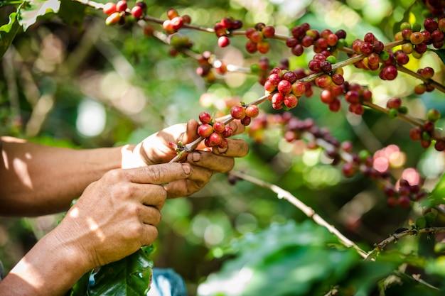 Grains de café crus et feuilles vertes à la zone agricole de la montagne chiang rai en thaïlande Photo Premium