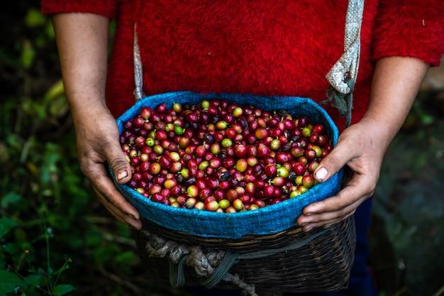 Grains de café crus frais des terres agricoles dans le panier de l'agriculteur Photo Premium