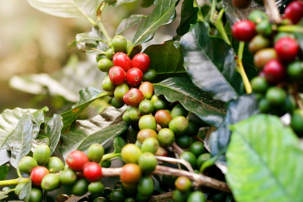Grains de café frais sur des arbres en grappe. Photo Premium