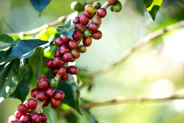 Grains de café en grains mûrissant sur une ferme de café Photo gratuit