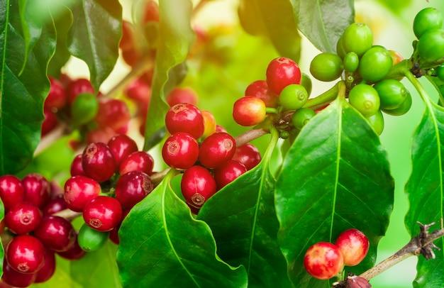 Grains de café mûrissant sur un arbre au nord de la thaïlande Photo Premium