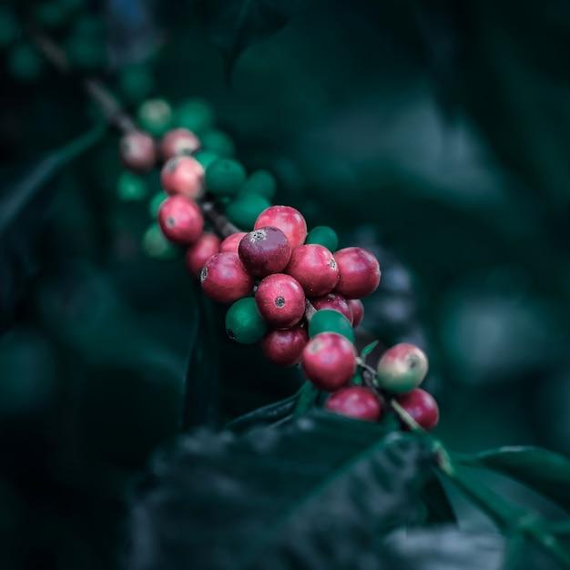 Grains de café mûrissant sur le style vintage de couleur d'arbre Photo Premium