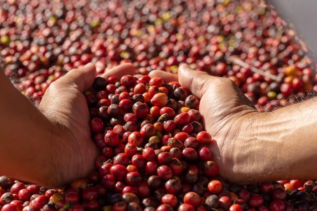 Grains de café rouge arabica frais dans la main et le processus de séchage Photo Premium