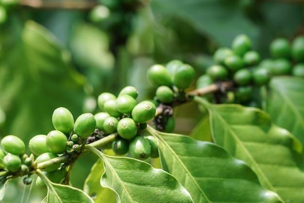 Grains de café vert sur l'arbre dans le jardin Photo Premium