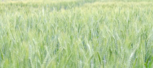 Grains D'orge De Couleur Verte à La Ferme Photo Premium