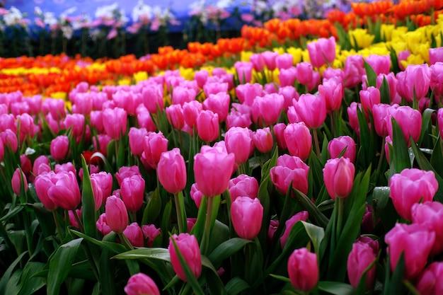 Grand champ de tulipes jaunes violettes et rouges dans le jardin. Photo Premium