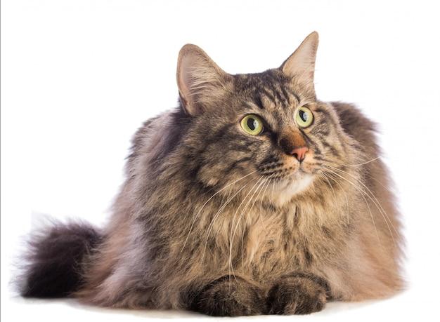Grand chat norvégien, félin aux cheveux longs Photo Premium