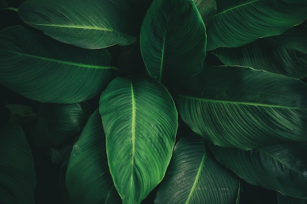 Grand Feuillage De Feuilles Tropicales à Texture Vert Foncé Photo Premium
