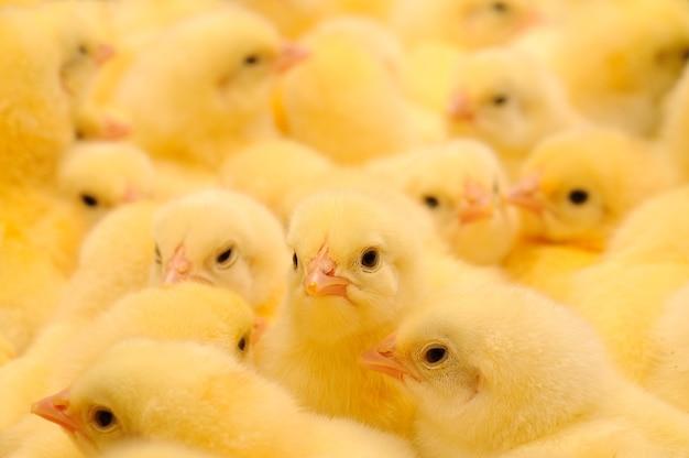 Grand Groupe De Poussins Nouvellement éclos Dans Un élevage De Poulets Photo Premium