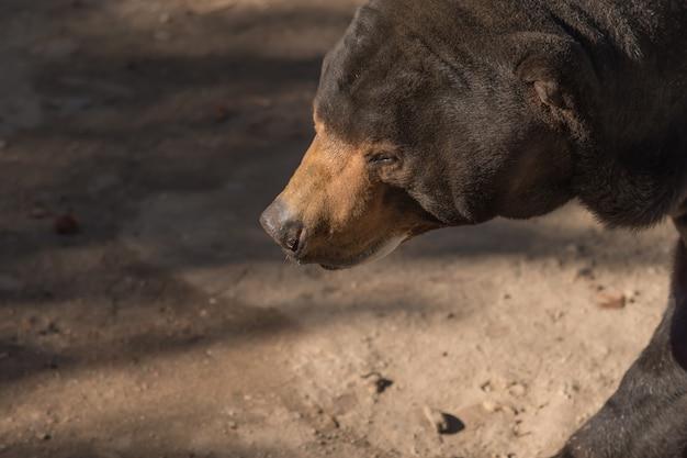 Grand ours brun entendre (ursus arctos) avec fond sombre Photo Premium