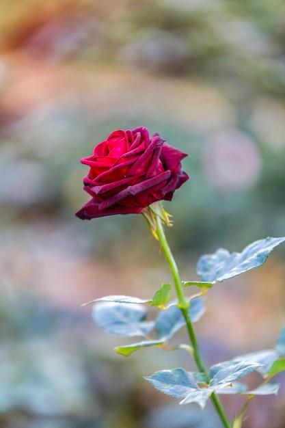 Grand Plan De Noir Rouges Rose Noir Baccara Dans Jardin A