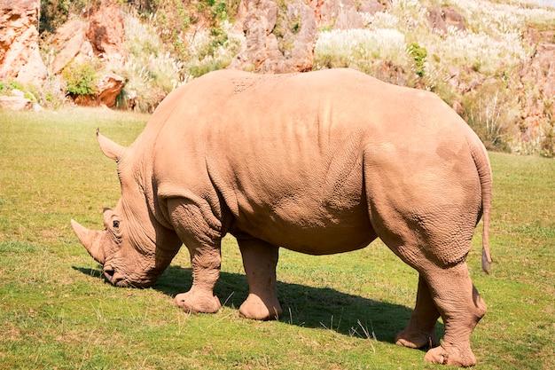 Grand rhinocéros blancs mangeant dans une prairie verte Photo Premium