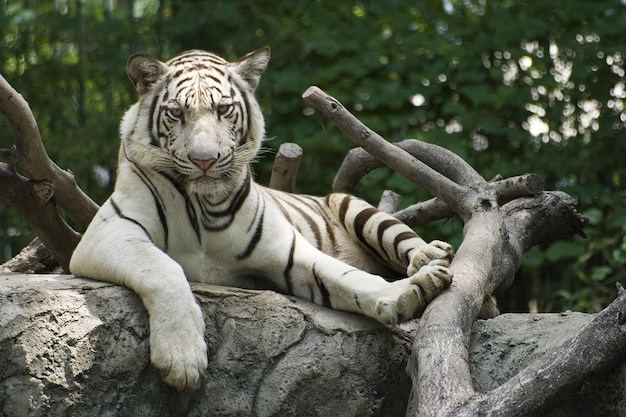 Le grand tigre s'est reposé sur le bois du zoo. Photo Premium