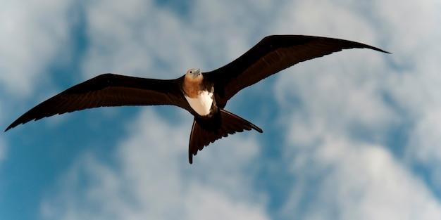 Grande frégate (fregata minor) en vol, île de genovesa, îles galapagos, équateur Photo Premium
