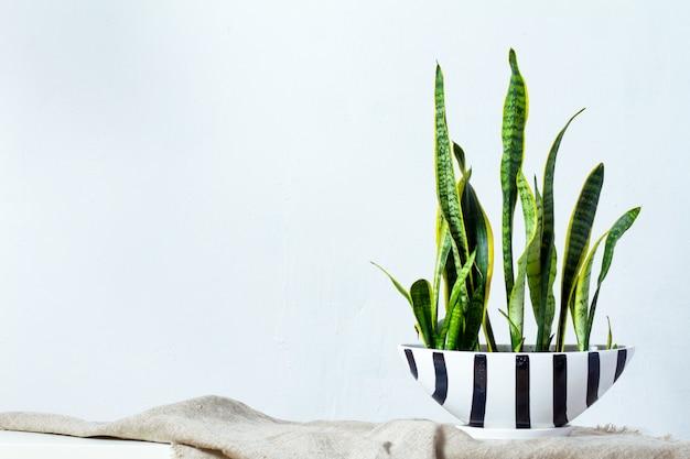 Une grande plante de sansevieria dans un long pot blanc noir se dresse sur un tissu naturel sur une console blanche face au mur de texture blanc Photo Premium