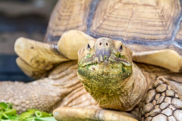Une grande tortue de terre Photo Premium