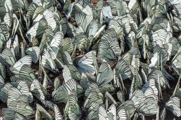 Grande volée de papillons au sol. invasion de ravageurs et destruction des récoltes récolte agricole Photo Premium