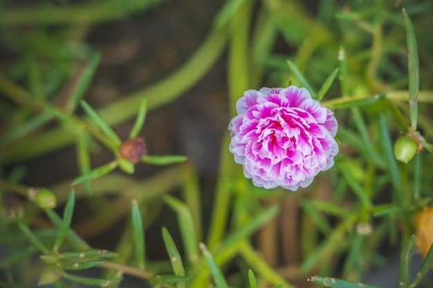 Grandiflora de fleurs de portulaca oleracea rose blanc sur fond flou avec un espace pour mettre du texte Photo Premium