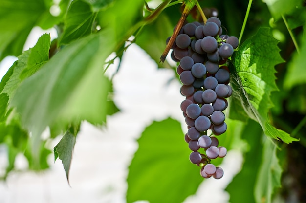 Grappe de raisin rouge sur le vignoble. table de raisin rouge avec des feuilles de vigne vertes. récolte d'automne de raisins pour la fabrication du vin, de la confiture et du jus. journée ensoleillée de septembre. Photo Premium