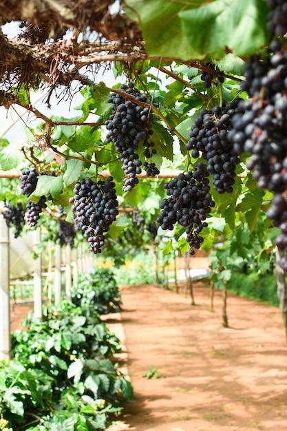 Des grappes de raisins mûrs avant la récolte. Photo Premium