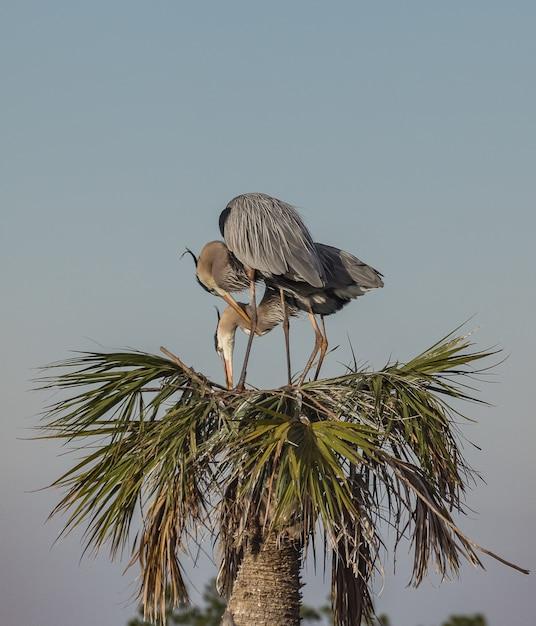 Great Blue Herons Au Sommet D'un Arbre Tropical Dans Le Centre De La Floride Photo gratuit