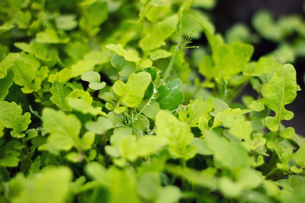 Green bush, salade Photo Premium