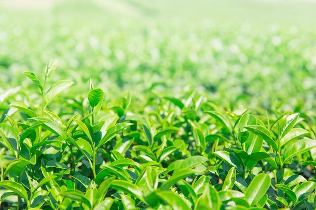 Greentea laisse le champ d'agricuture de l'usine de thé vert Photo Premium