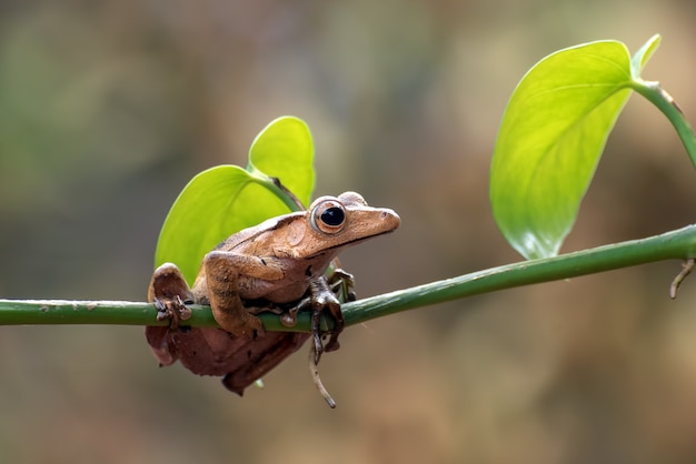 Grenouille Oreilles De Bornéo Sur Une Branche D'arbre Photo Premium