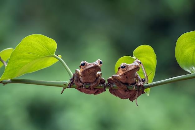 Grenouilles Oreilles De Bornéo Sur Une Branche D'arbre Photo Premium