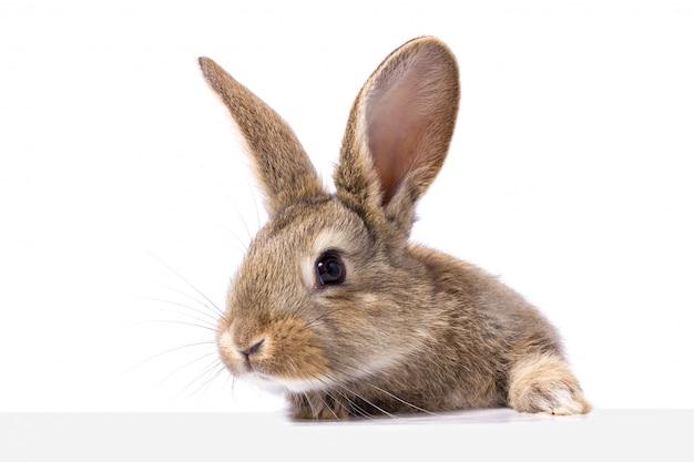 Gris lapin moelleux en regardant le panneau Photo Premium