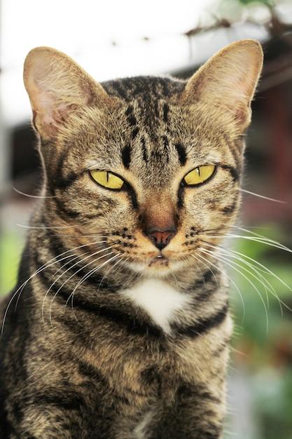 Gros chat gris regarde moi Photo Premium