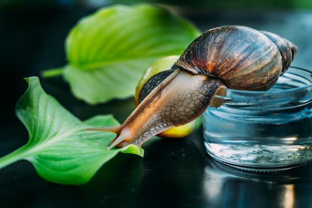 Un gros escargot brun rampe du pot d'eau à la feuille verte sur la table de la pièce. fermer Photo Premium