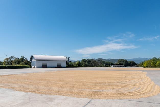 Gros grains de café secs au soleil, arabica pelé sur le sol en ciment Photo Premium