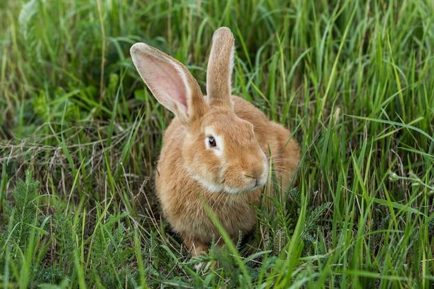 Gros lapin mature dans l'herbe à la ferme Photo gratuit