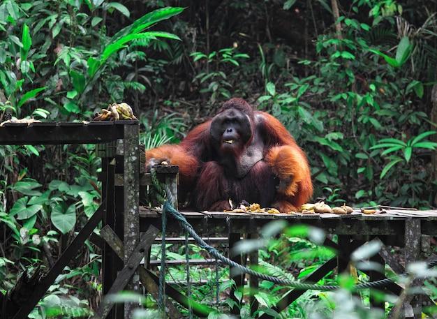 Gros mâle d'orang-outan en malaisie Photo Premium